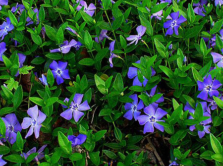 Groundcovers sierra vista growers view our full list of groundcovers ground covers mightylinksfo