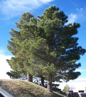 Pine afghan sierra vista growers