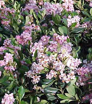 Indian Hawthorn Pinkie Sierra Vista Growers