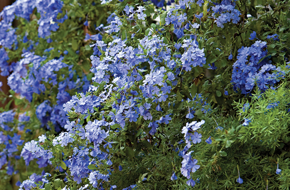 plumbago cape  sierra vista growers, Natural flower